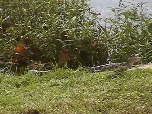 Is this #8??  Behind the full shot of a gator?