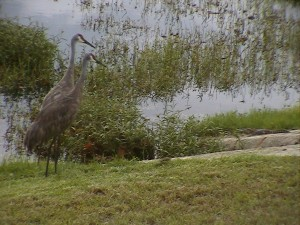 Only One Baby Gator Remains...Here come the Cranes!